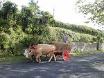 Farming, the Azores way