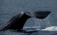 whales and marine life in the Azores